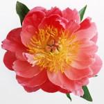 Цветы из ткани: Лучшие способы обработки ткани (Часть 1)